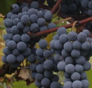 Gamay druiven