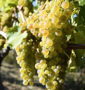Viognier druif